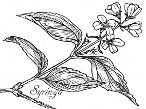 Syringa drawing, from Wiki Commons
